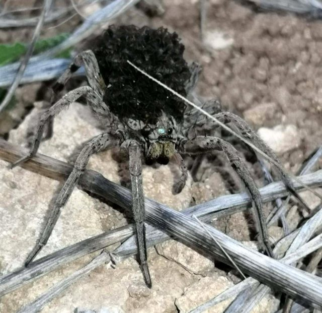 Dünyada Nadir Görülen Örümcek Türü Bilecik'te Görüntülendi