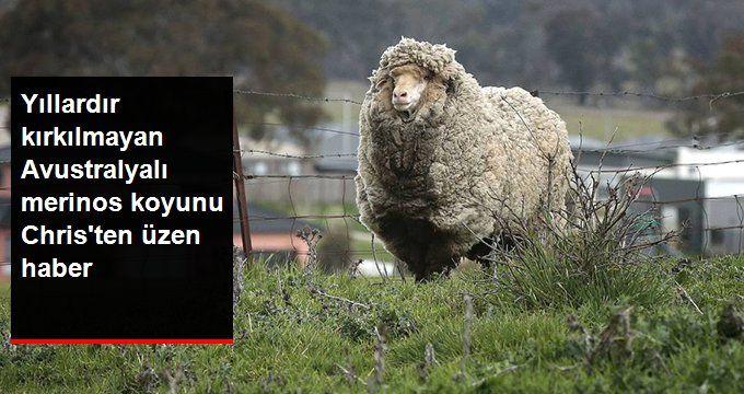 Yıllardır Kırkılmayan Merinos Koyunundan Üzücü Haber